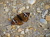 Common Buckeye, Cape May NJ