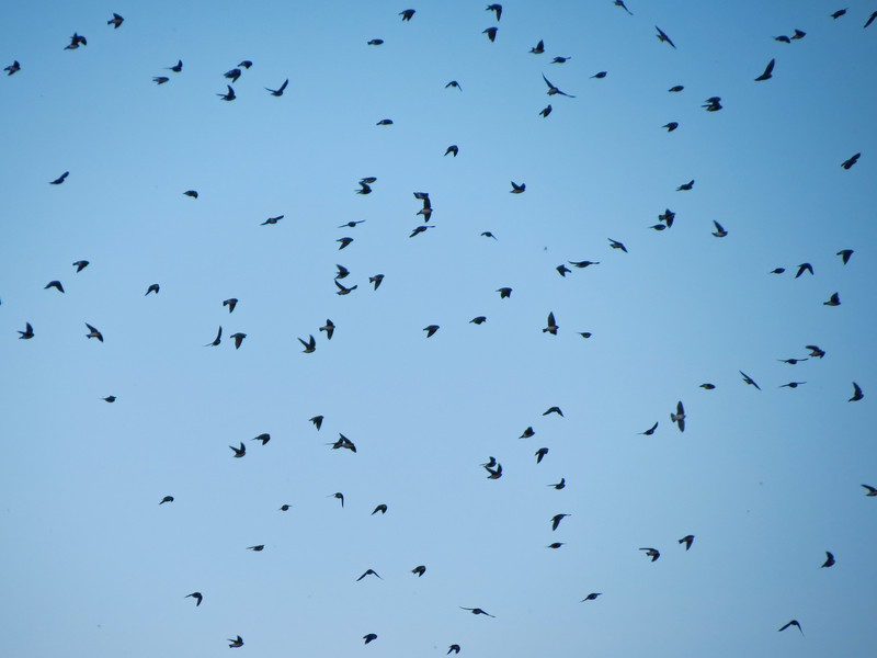 Tree Swallows, Cape May NJ