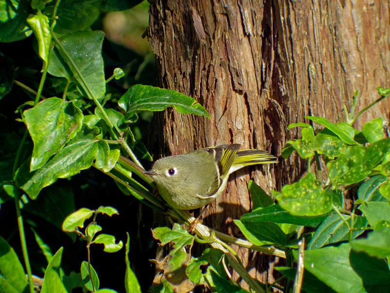 Ruby-crowned Kinglet, Cape May NJ Digiscoped ZEISS DiaScope 65FL