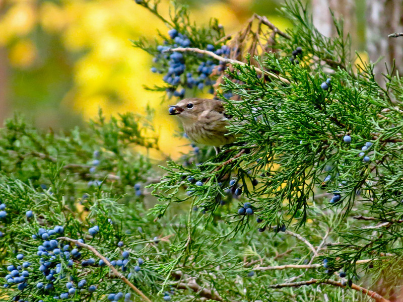 Yellow-rumped Warbler, Cape May NJ,
