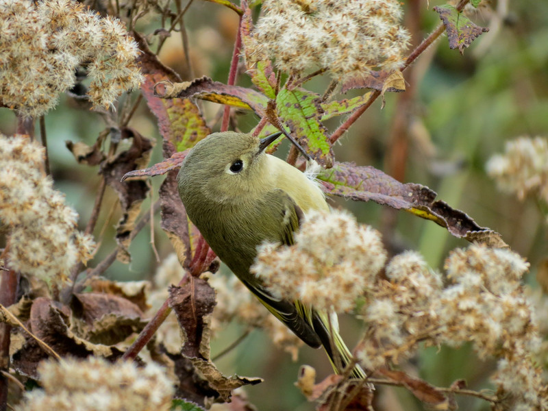 Ruby-crowned Kinglet, Cape May NJ