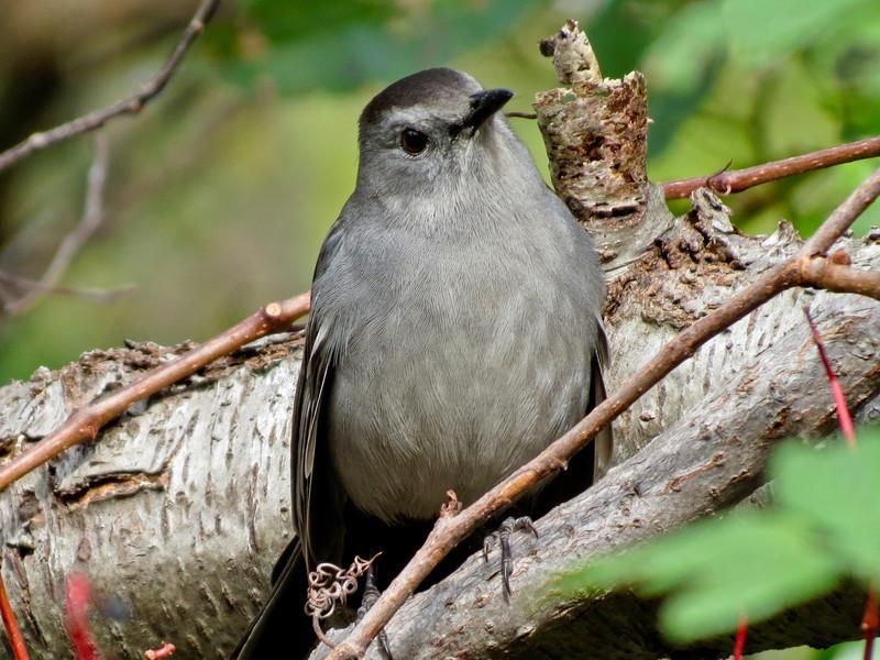 Catbird, Cape May NJ