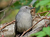 Catbird, Cape May NJ