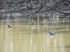 Great Blue Heron, Grange Insurance Audubon Center, Columbus OH