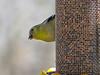 Ameican Goldfinch, Grange Insurance Audubon Center, Columbus OH