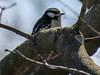 Downy Woodpecker, Grange Insurance Audubon Center, Columbus OH