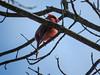 Northern Cardinal, Grange Insurance Audubon Center, Columbus OH