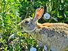 Denver, CO. Worn Rabbit.