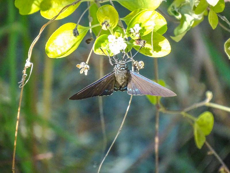 Key West Botanical Garden, Key West, Florida Keys. Mangrove Skipper