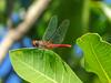 Key West Botanical Garden, Key West, Florida Keys. Red-tailed Pennant