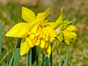 Daffodils, The Yard, Kennebunk ME 4/21/11