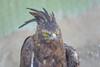 Long Crested Eagle, Moholoholo Rehabilitation Center, South Africa