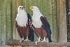 African Fish Eagle, Moholoholo Rehabilitation Center, South Africa