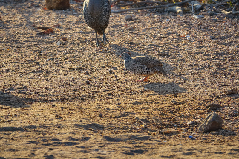 Natal Spurfowl, Tremisana Lodge, Balule Game Reserve, Greater Kruger NP, South Africa