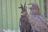 Tawny Eagle and Long Crested Eagle, Moholoholo Rehabilitation Center, South Africa