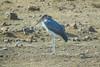 Malabu Stork, Moholoholo Rehabilitation Center, South Africa