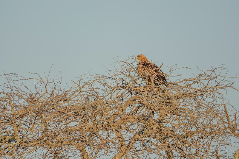 Tawny Eagle, Kruger National Park, South Africa