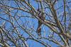 Go-away-bird, Kruger National Park, South Africa