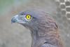 Tawny Eagle, Moholoholo Rehabilitation Center, South Africa