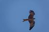 Yellow-billed Kite, Moholoholo Rehabilitation Center, South Africa