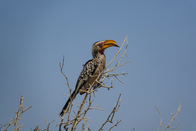 Yellow-billed Hornbill, Kruger National Park, South Africa