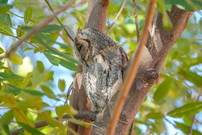 African Scopes Owl, Kruger National Park, South Africa