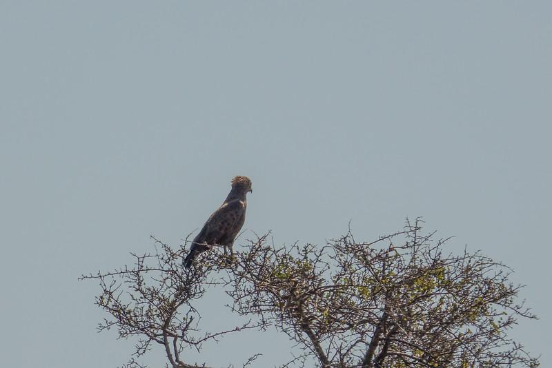 Brown Snake-Eagle, Kruger National Park, South Africa