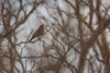 Scarlet-breasted Sunbird, Marc's Treehouse Lodge, South Africa