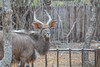 Nyala, Marc's Treehouse Lodge, South Africa