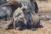 Wildebeest, Kruger National Park, South Africa