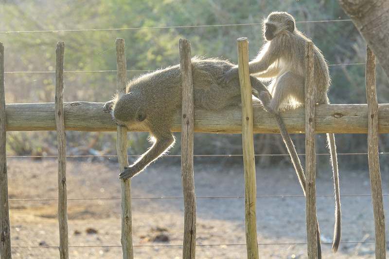 Vervet Monkey, Tremisana Lodge, Balule Game Reserve, South Africa