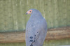Dark Chanting Goshawk, Moholoholo Rehabilitation Center, South Africa