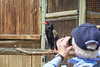 Bateleur, Moholoholo Rehabilitation Center, South Africa