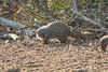 Striped Mongoose, Tremisana Lodge, Balule Game Reserve, South Africa