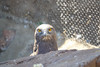 Tawny Eagle, Moholoholo Rehabilitation Center, South Africa