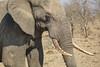 Elephant, Kruger National Park, South Africa.
