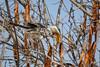 Yellow-billed Hornbill, Kruger National Park, South Africa.