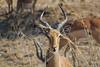 Impala, Kruger National Park, South Africa.