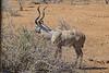Kudu, Kruger National Park, South Africa.