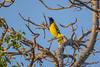 Black-headed Oriole, Tremisana Lodge, Balule Game Reserve, South Africa