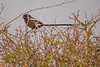 Magpie-shrike, Balule Game Reserve, South Africa.