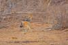 Black-backed Jackal, Balule Game Reserve, South Africa.
