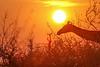 Giraffe in sunrise, Balule Game Reserve, South Africa.