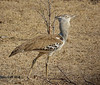 Kori Bustard,  Kruger National Park, South Africa.