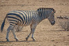 Zebra,  Kruger National Park, South Africa.