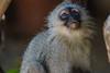 Vervet Monkey, Balule Game Reserve, Greater Kruger NP, South Africa