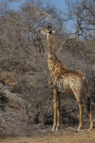 Giraffe, Balule Game Reserve, Greater Kruger NP, South Africa