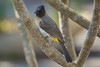 Dark-capped Bulbul, Tremisana Lodge, Balule Game Reserve, South Africa.