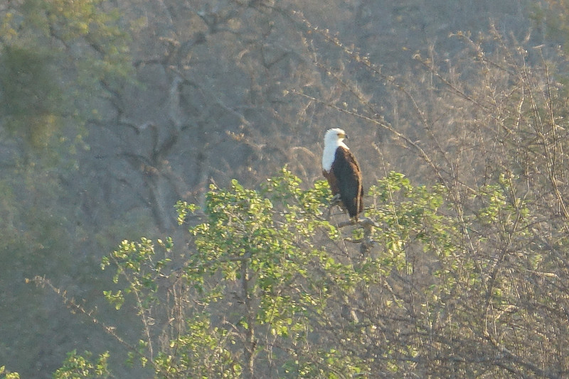 African Fish Eagle, Balule Game Reserve, Greater Kruger NP, South Africa