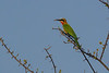 White-fronted Bee-eater, Balule Game Reserve, South Africa.
